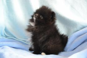 Foto 4 Reinrassige wunderschöne Pomeranian-Welpen aus FCI /VDH