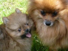 Foto 5 Reinrassige wunderschöne Pomeranian-Welpen aus FCI /VDH