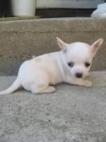 Reinrassiger Chihuahua Welpen