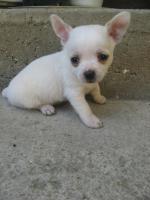 Foto 2 Reinrassiger Chihuahua Welpen