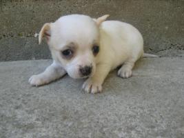 Foto 3 Reinrassiger Chihuahua Welpen