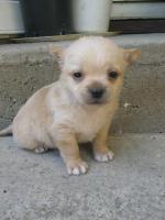 Foto 4 Reinrassiger Chihuahua Welpen