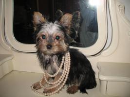 Reinrassiger MINI Biever Yorkshire Terrier baby zu verkaufen !