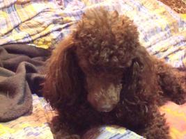 Foto 3 Reinrassiger Toypudel Welpe - Handtaschenhund