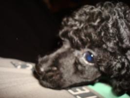 Foto 4 Reinrassiger Toypudel Welpe - Handtaschenhund
