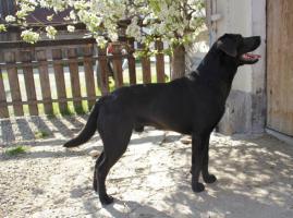 Reinrassiger charcoal Labrador Rüde in gute Hände abzugeben!
