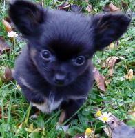 Reinrassiger tricolor langhaar Chihuahua sucht neues Zuhause