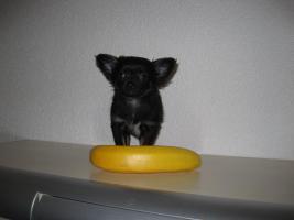 Foto 3 Reinrassiger tricolor langhaar Chihuahua sucht neues Zuhause