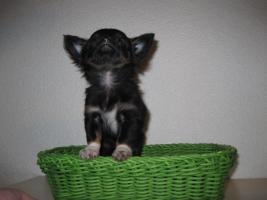 Foto 4 Reinrassiger tricolor langhaar Chihuahua sucht neues Zuhause