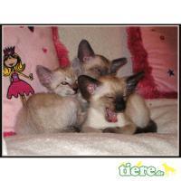 Foto 5 Reinrassiger, extrem verschmuster Siam Baby Kater sucht...
