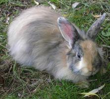 Reinrassiges Jamorra-Harlekin Kaninchen  5 Monate