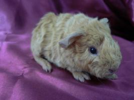 Rex-Meerschweinchen-Babies in creme