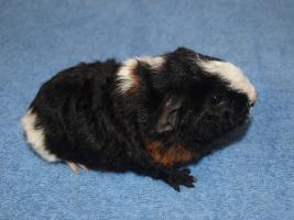 Rexmeerschweinchenbabys