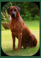 Rhodesian Ridgeback Deckrüde Multi Ch. Bryan Bentley of Brownridge