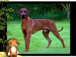 Foto 4 Rhodesian Ridgeback Deckrüde Multi Ch. Bryan Bentley of Brownridge