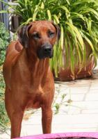 Foto 6 Rhodesian Ridgeback Deckrüde Multi Ch. Bryan Bentley of Brownridge