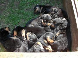 Foto 2 Rottweiler