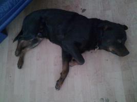 Foto 3 Rottweiler