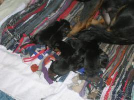 Foto 3 Rottweiler-Mischlinge