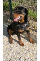 Foto 3 Rottweiler Welpen
