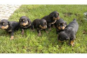 Foto 4 Rottweiler Welpen