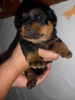 Foto 3 Rottweiler-Welpen