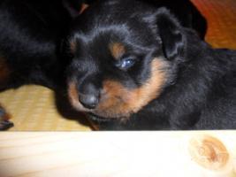 Foto 4 Rottweiler-Welpen