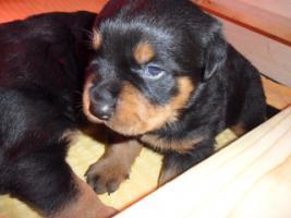 Foto 6 Rottweiler-Welpen