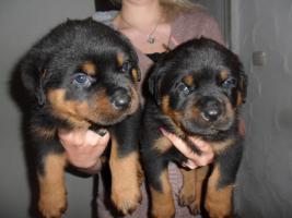 Foto 3 Rottweilerwelpen mit Ahnentafel