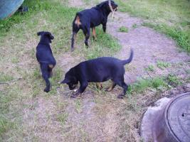 Rotweiler Schäferhund Mix zu Verkaufen