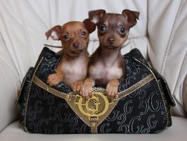 Foto 3 Russische Toy -Terrier Welpe * Mini *