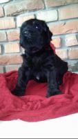 Russischer Schwarzer Terrier der Champion-Abstammung zum Verkauf