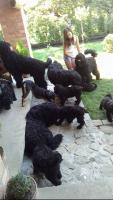 Foto 2 Russischer Schwarzer Terrier der Champion-Abstammung zum Verkauf