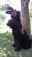 Foto 3 Russischer Schwarzer Terrier der Champion-Abstammung zum Verkauf