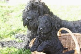 Russischer Schwarzer Terrier Welpen abzugeben
