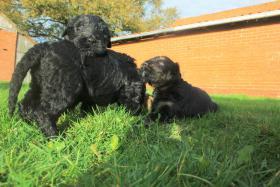 Foto 6 Russischer Schwarzer Terrier Welpen abzugeben