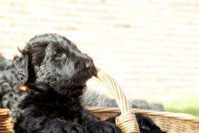 Foto 7 Russischer Schwarzer Terrier Welpen abzugeben