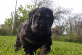 Foto 10 Russischer Schwarzer Terrier Welpen abzugeben