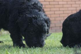 Foto 14 Russischer Schwarzer Terrier Welpen abzugeben