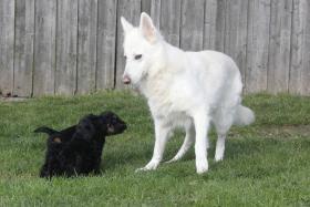 Foto 15 Russischer Schwarzer Terrier Welpen abzugeben