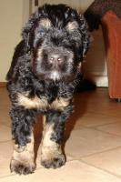 Foto 16 Russischer Schwarzer Terrier Welpen abzugeben