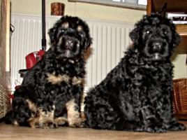 Foto 18 Russischer Schwarzer Terrier Welpen abzugeben