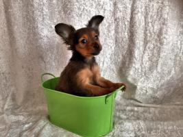 Foto 2 Russkij Toy Terrier Babys