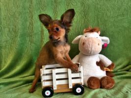 Foto 3 Russkij Toy Terrier Babys