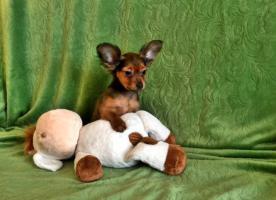 Foto 4 Russkij Toy Terrier Babys
