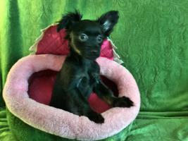 Foto 5 Russkij Toy Terrier Babys