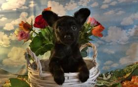 Foto 6 Russkij Toy Terrier Babys