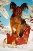 Foto 7 Russkij Toy Terrier Babys