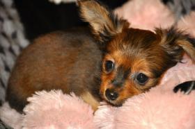 Foto 8 Russkij Toy Terrier Babys