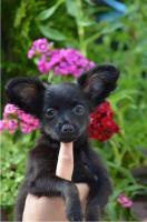 Foto 9 Russkij Toy Terrier Babys